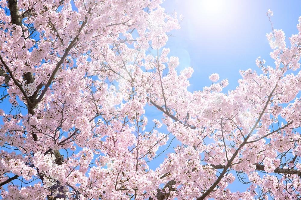 cherry-blossom_00002